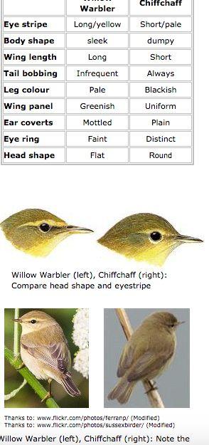 Chiffchaff (Tjiftjaf, felosa-comum/felosinha)  vs. Willow Warbler (Fitis, felosa-musical)