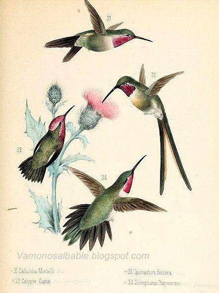 El Bable: El dibujo científico transformado en arte: Monografía de los colibries en México.