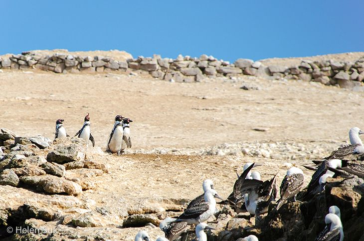 penguins at ballestas islands in peru
