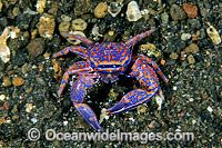 Blue Porcelain Crab