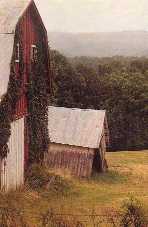 ivy covered barn in pastoral setting