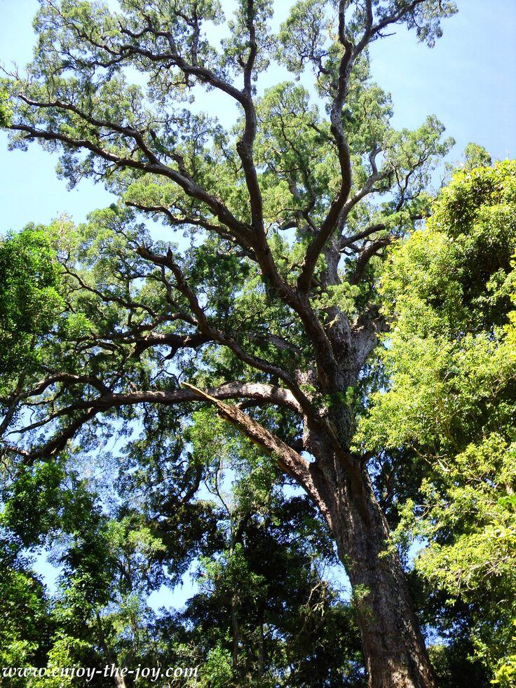 """Tsitskamma Big Tree"""