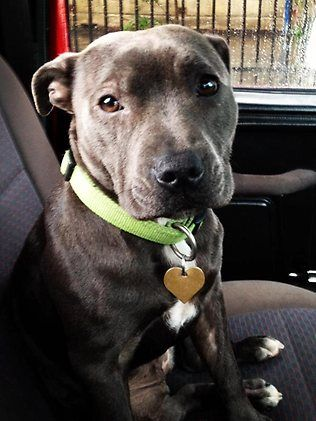 Blue staffie. All I want for Christmas *hint hint*