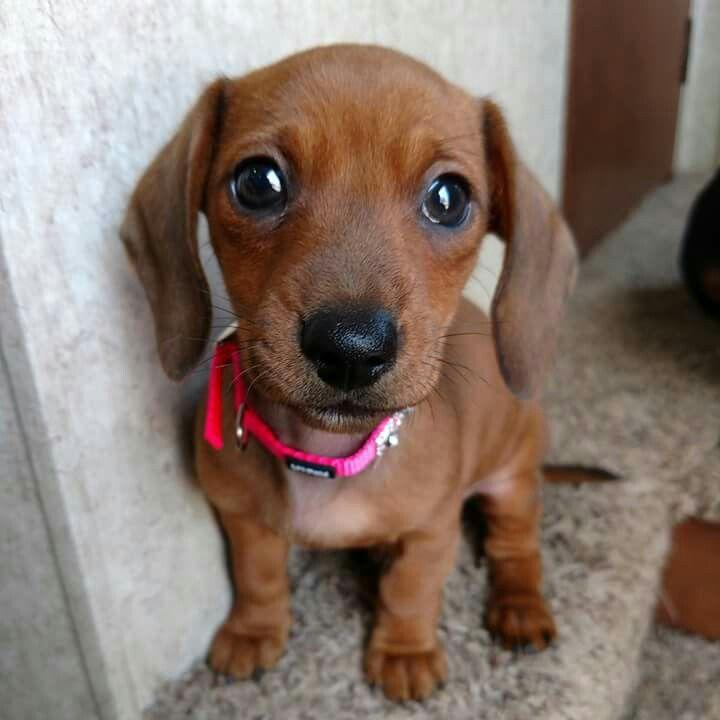 Dachshund Love Baby Dogs Cute Puppies Dachshund Dog