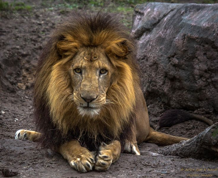Lion by Sett_N_trenZ on 500px