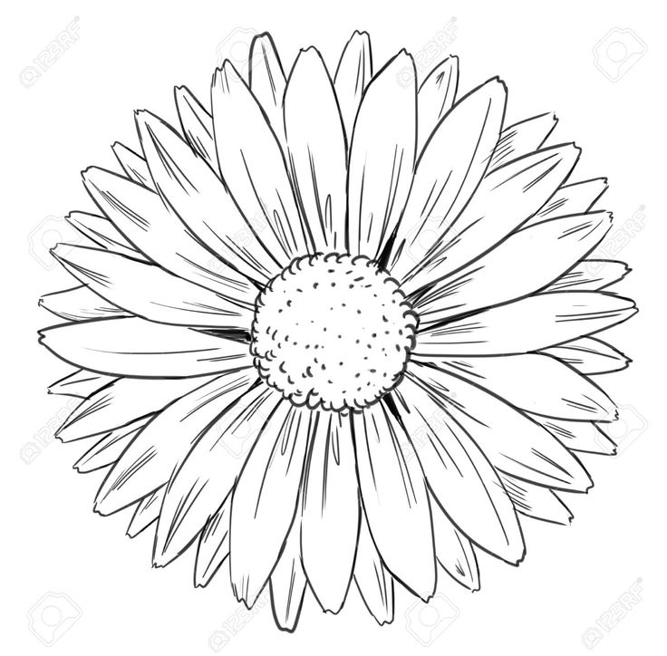 Gerber Daisy Black And White Drawing