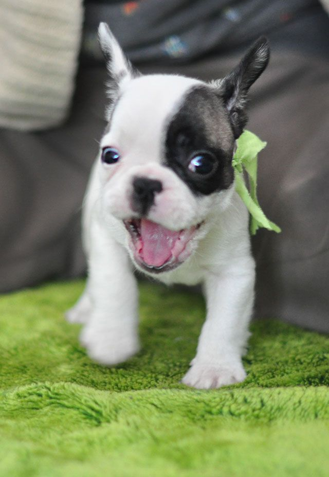 Crazy Frenchie Pup!