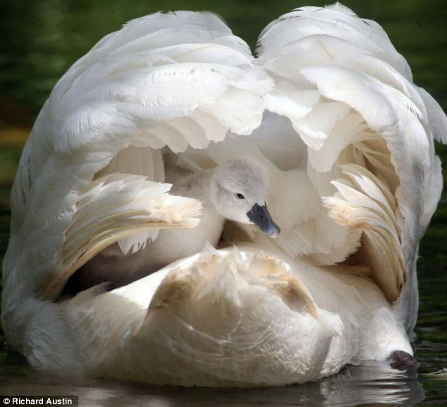 ❥ mother swan hiding baby swan under her wings... beautiful in every way