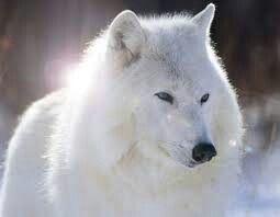Lobo artico