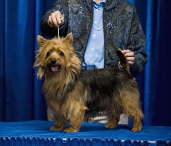 From pedicures to massages to special tricks and moves, top handlers share their tips and strategies on how to train your dog for a dog show.