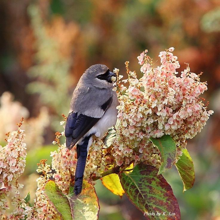 Beavan's Bullfinch: Beavan Bullfinch, Pretty Birds