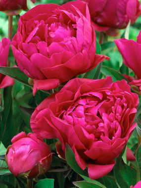 """Peony Karl Rosenfield Type: Bulbs Height: Tall 36-40"""" (Plant 30"""" apart.) Bloom Time: Late Spring Sun-Shade: Full Sun to Half Sun/ Half Shade Zones: 3-8   Find Your Zone Soil Condition: Normal Flower Color: Red Masses of ruffled deep red flowers. 'Karl Rosenfield' double variety selection is valued both for its bloom size and intense color.  Features to Note:      For a sunny spot     Fragrant     Good for Cut Flowers     Rabbit Resistant     Attracts Butterflies"""