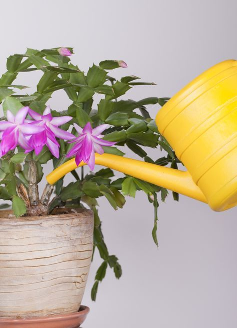 Can An Overwatered Christmas Cactus Plant Be Saved? Plants