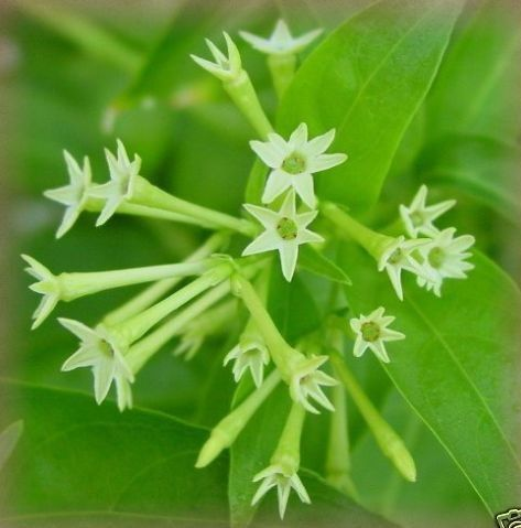 Cestrum nocturnum - Night Blooming Jasmine We've had one of these at our front door for 15 years.  It grew and grew!  Finally got too leggy so we are planting a new one for the spring.  Delight your front entry way with the lovely summer fragrance in the evening!