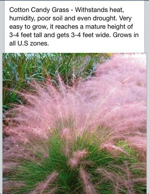 Cotton Candy Grass ~ღ~