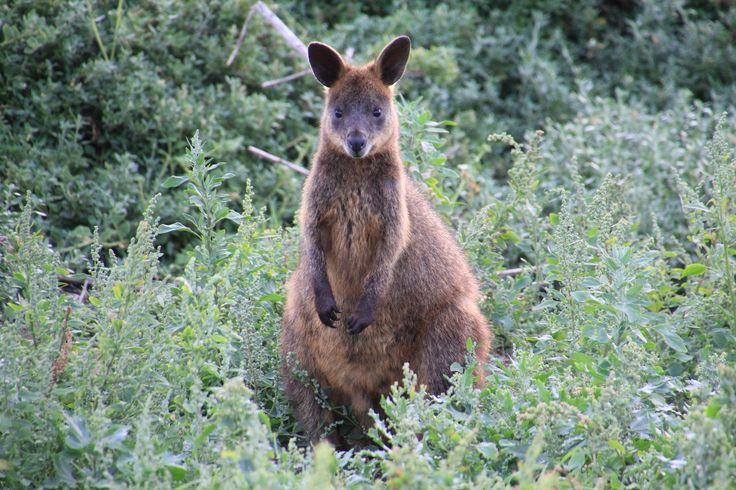 Cute swamp wallaby at Cape Woolamai, Phillip Island