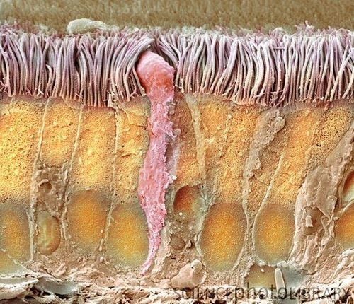Colored SEM of a section through the trachea: The lining consists of mucus-secreting goblet cells (center, pink) and epithelial cells (vertical) that are covered in cilia.