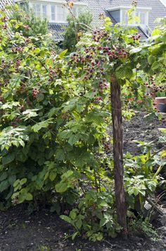 Brombeeren schneiden – in nur wenigen Schritten erklärt • Pflanzen Tipps & Tricks • 99Roots.com