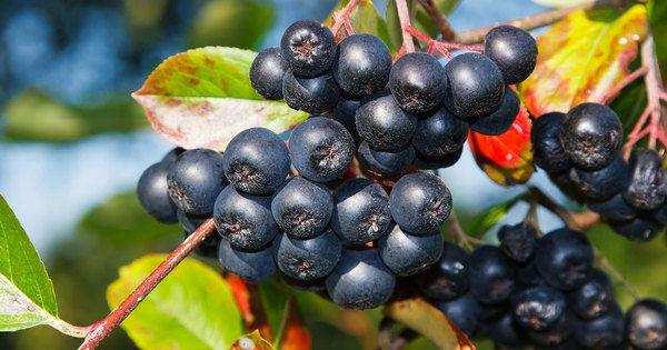 Dansk mirakelbær kan vokse i din have – en helbredsbombe for kroppen