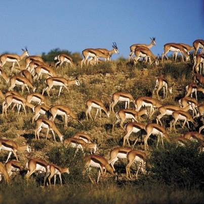 Our South African symbol - the Springbok