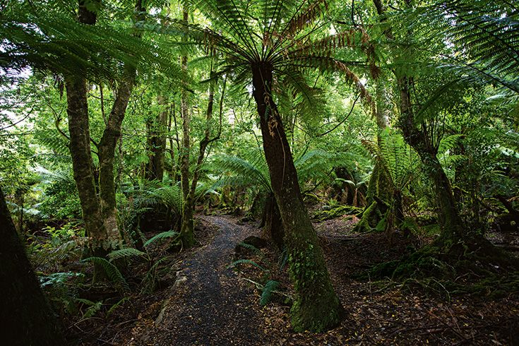 Tasmania's Blue Tier Giant Walk winds gently through a lush understory of tall ferns, sassafras and myrtle. #ecotourism