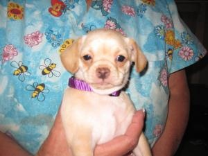 pug for sale seattle 17 best ideas about pug chihuahua mix on pinterest chugs 9949