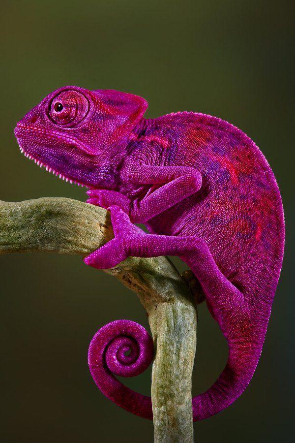 chameleon-awesome