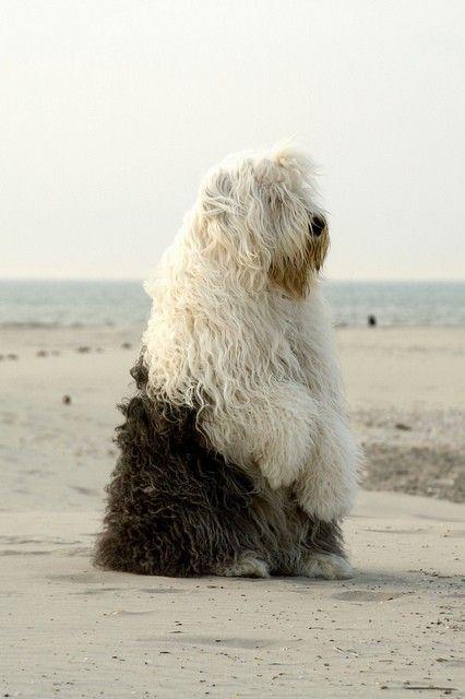 sheepdog ❤
