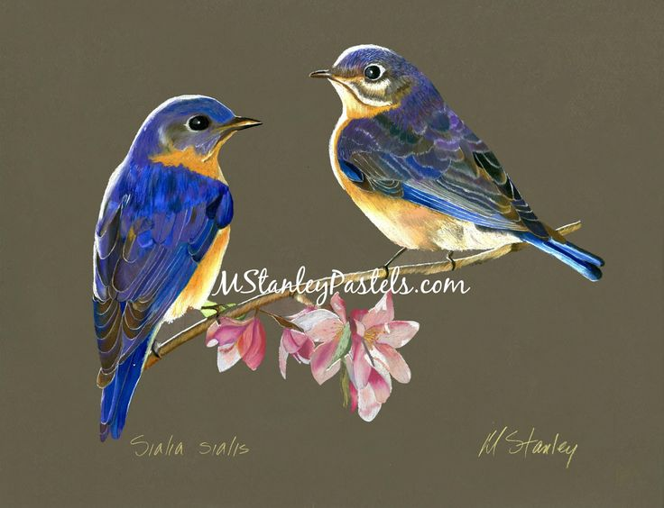 Pastel drawing of the eastern blue bird Sialis sialis. Wish to purchase it? Please go to http://www.etsy.com/shop/mstanleypastels