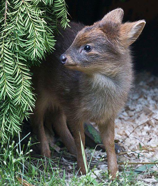 Pudu- world's smallest deer