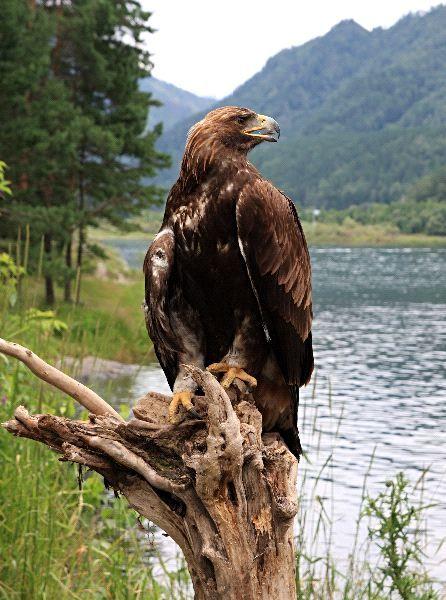 Águila real (Aquila chrysaetos) Símbolo de nuestra identidad Mexicana, se hacen esfuerzos para reproducirla en cautiverio y conservarla.