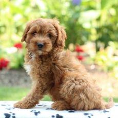 Cavapoo puppy for sale in GAP, PA. ADN-39665 on PuppyFinder.com Gender: Female. Age: 12 Weeks Old