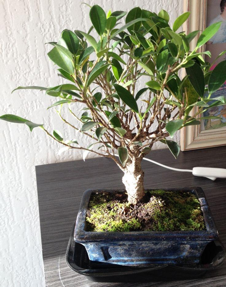 J'adore ce petit arbuste, beau, décoratif. Il met une certaine ambiance dans la pièce...