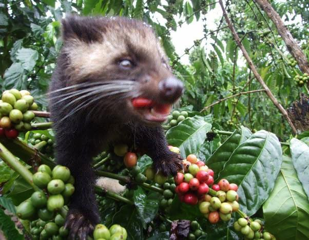 "The World's Most Expensive Coffee ""Kopi Luwak"" is prepared from the coffee beans extracted from the  droppings of the Asian Palm Civet,a catlike animal found in the coffee-growing lands from India to Indonesia.     It eats the tastiest, ripest coffee cherries and eventually excretes the hard, indigestible coffee beans which after being fermented in the animal's stomach produce a brew which is bitterless, chocolaty and smooth. The Coffee prepared from such Coffee beans is the ""Kopi Luwak""."