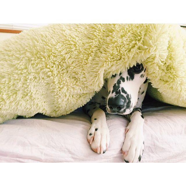----- そこに隠れてるのは誰かな? #dalmatian #dalmatians #dalmatiansofinstagram #dalmatians_of_instagram #dog #dogsofinstagram #わんこ #ダルメシアン