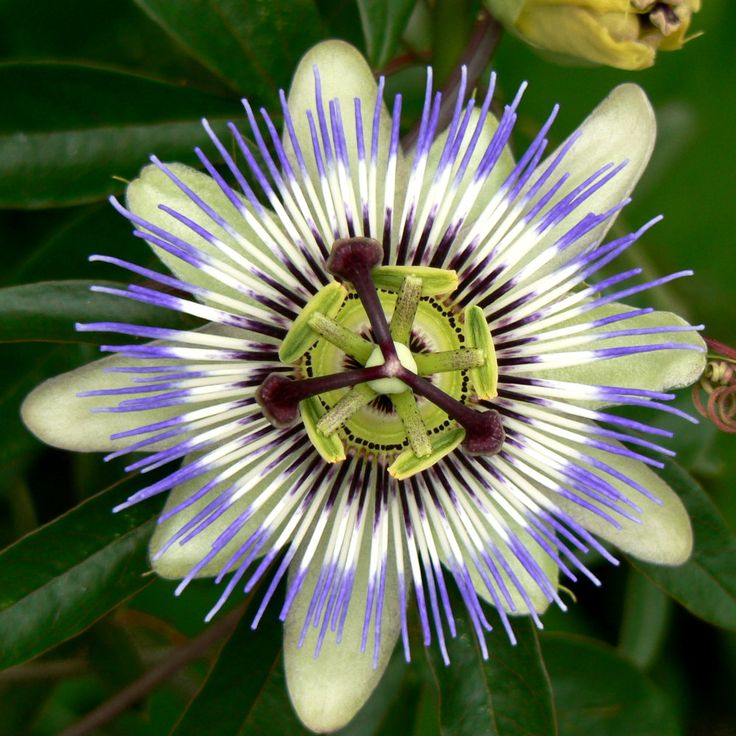 "Blue Crown Passion Flower -- on arbor; perennial vine; edible fruit, dried flowers for tea; full sun to partial shade; likes moist soil that drains well; prune in early spring (after last frost) to 6"" above ground to encourage new growth"