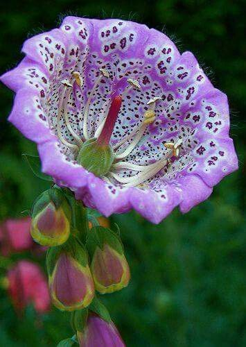 "Flor belíssima. Nome científico: ""Digitalis purpurea""."