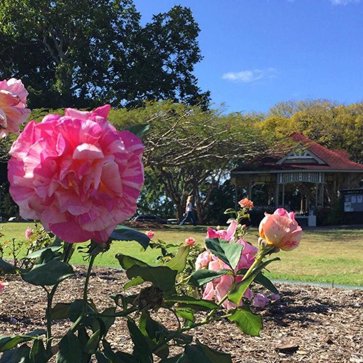 New Farm Park Rose Gardens- Candy Stripe Rose
