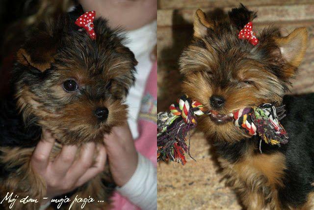 puppy, yorkshire terrier, dog,
