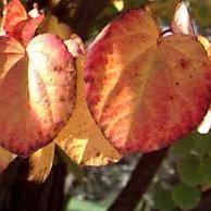 Cercidophyllum japonicum
