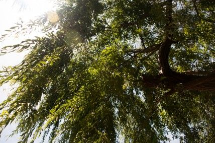 DOES A WEEPING WILLOW REALLY WEEP?