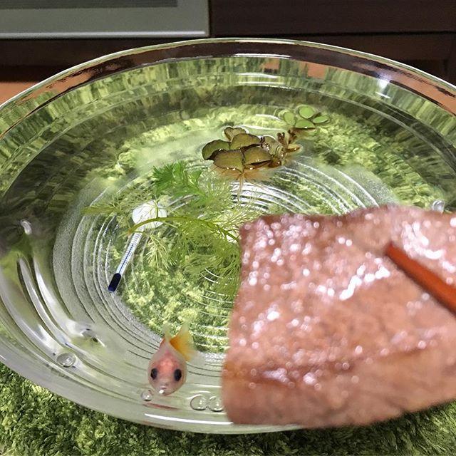 beef #beef#牛肉#肉#宮崎牛#ハーブ牛#ミスジ#goldfish#ピンポンパール#金魚#どんぶり金魚#水草#銀ちゃんも食べたい#food#fish#可愛い#癒し#pet#ペット#風景#Photo#宮崎県#宮崎市#宮崎