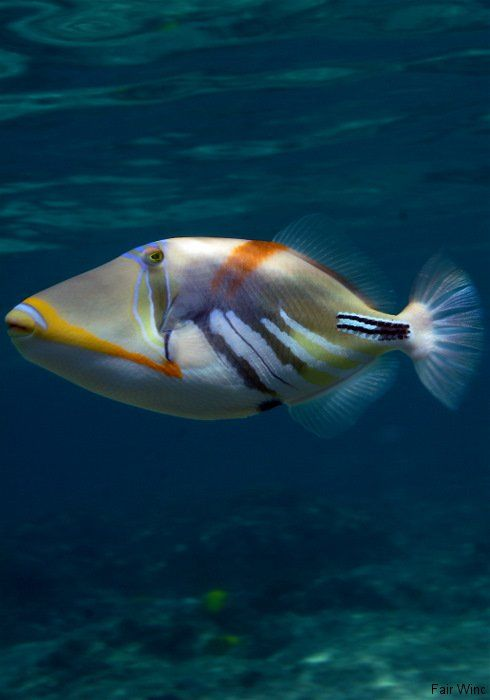 Triggerfish big blue pinterest for Hawaii state fish