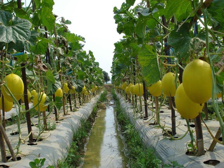 Tata Cara Budidaya (SOP) Melon Organik