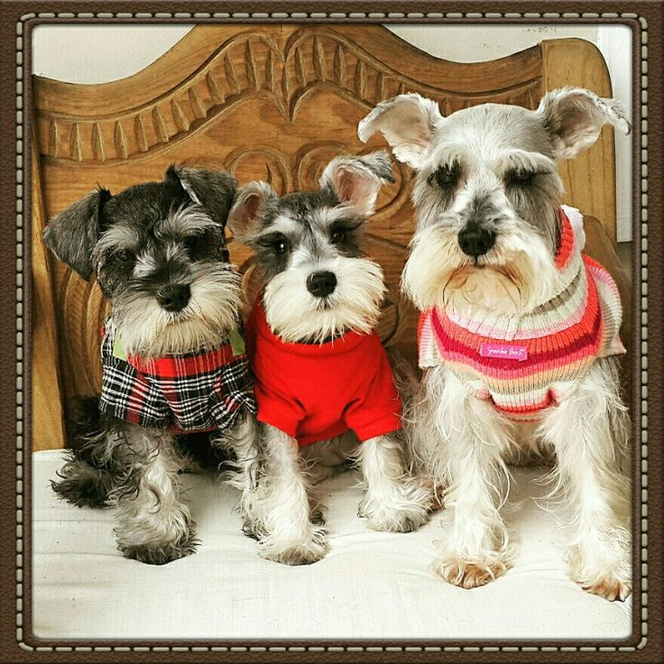 Salt and pepper, Silver and Black miniature schnauzers