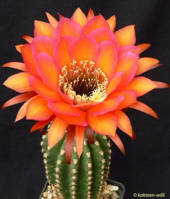 Trichocereus hybrid #cactusflower