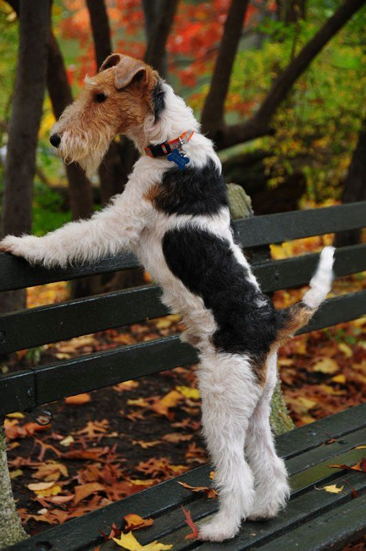 Pretty markings on this wire fox terrier dog