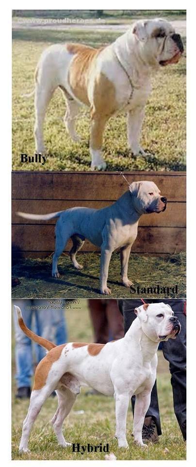 American Bulldog types | via Facebook, Standard American Bulldogs