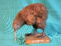 little spotted kiwi in D'Arcy Thompson Zoology Museum
