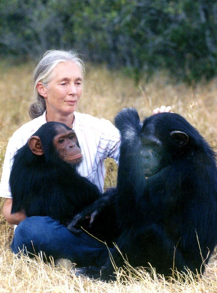 "Jane Goodall - Primatologist, Anthropologist. I remember seeing her documentaries on discovery and reading about her in the National Geographic when I was a kid - I wanted to BE her. I even got given a huge chimpanzee plush toy for Christmas when I was 7 years old, because I was obsessed with them and wolves, but wolf toys didn't exist. ""Judy"" (named after the chimp in Daktari) is still with me (29 years later!!) and the only prized treasure I have kept from my childhood!"